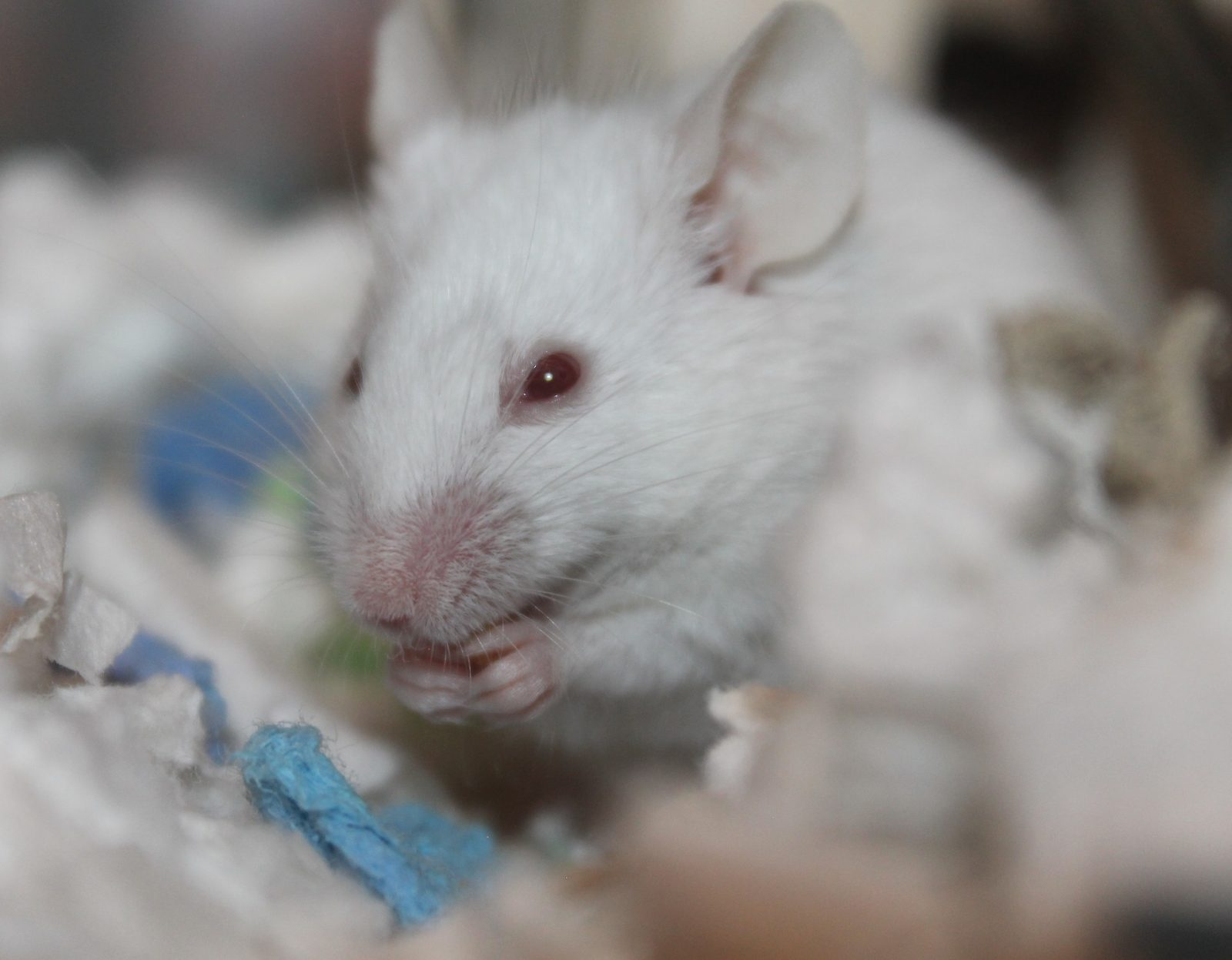 Ratón-blanco